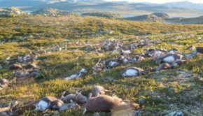 More Than 300 Reindeer Die In A Bizarre Tragedy