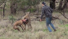 Man Punches A Kangaroo To Rescue His Dog